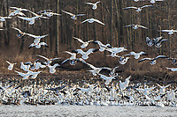 00754-02611 Snow Geese (Anser caerulescens) landing on lake Marion Co. IL