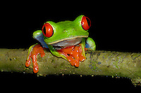 A Red-eyed Tree Frog, Agalychnis callidryas, climbing a tree branch in Costa Rica; La Selva, Costa Rica