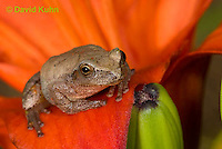 0808-0906  Spring Peeper Frog Climbing on Red Lily, Pseudacris crucifer (formerly: Hyla crucifer)  © David Kuhn/Dwight Kuhn Photography