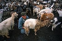 Europe/France/Corse/2B/Haute-Corse/Cap Corse/Env. de Rogliano: Monsieur Grimaldi berger trayant ses chèvres [Non destiné à un usage publicitaire - Not intended for an advertising use]