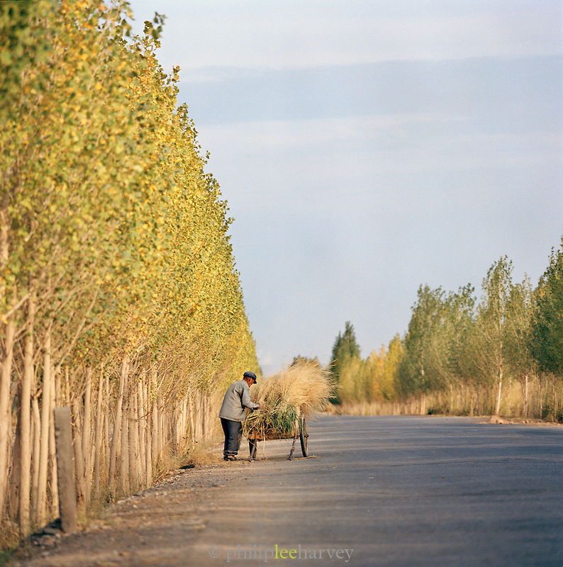 Local man collecting hay on trailer, Silk Route, Dunhuang, Jiuquan, Gansu Province, China.
