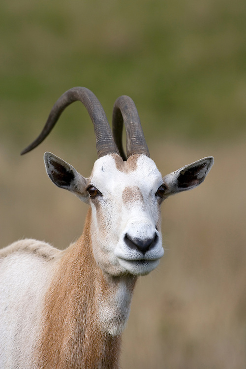 Scimitar-horned Oryx Oryx dammah Shoulder height to 1m Endangered antelope associated with deserts and semi-deserts of North Africa and Middle East. Coat is buffish-brown grading to whitish and horns are long and curved.