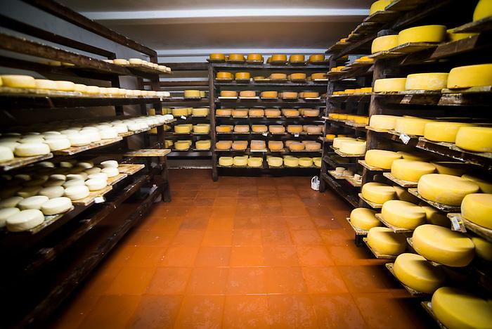 Cheese maturing in the cheese factory on the farm at Hacienda Zuleta, Imbabura, Ecuador, South America