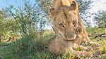 Lion prepares to pick up her cub, Masai Mara National Reserve, Kenya