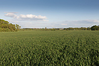 Field of Winter wheat<br /> &copy;Tim Scrivener Photographer 07850 303986<br /> ....Covering Agriculture In The UK....
