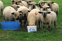 Hampshire Down ewe lambs feeding from a bucket....Copyright John Eveson