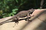 Lizard doing push-ups in Santa Barbara