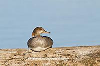 00766-00509 Hooded Merganser (Lophodytes cucullatus) female on log in wetland Marion Co., IL