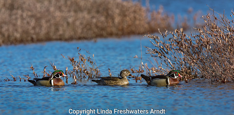 Hen wood duck swimming between to drakes in a northern Wisconsin wetland.