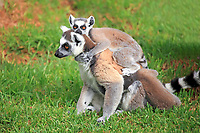 Ring-tailed Lemurs (Lemur catta), mother and young, Madagascar, Africa