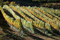 The grapes have already been harvested but the vineyard is still beautiful in its fall colors. This vineyard is located at Chellan Estates Winery.