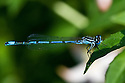Azure damselfly (Coenagrion puella), East Sussex, late June.