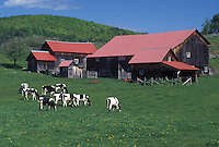 cows, red barn, dairy farm, Vermont, VT, West Fairlee, Holstein cows, grazing, pasture, barn with a red roof, spring.