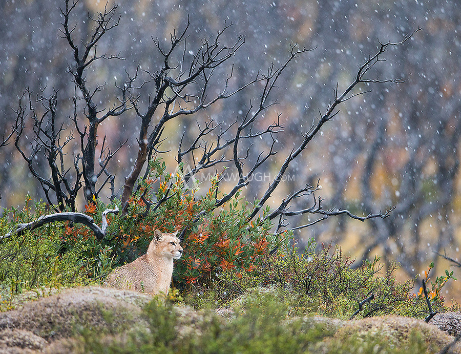 Perhaps the highlight of the trip was seeing a family of pumas sitting in front of a gorgeous background during a late autumn snowfall.