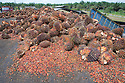 A large pile of oil palm fresh fruit bunches (FFBs) and loose fruits await inspection and processing at the mill. The Sindora Palm Oil Mill, owned by Kulim, is green certified by the Roundtable on Sustainable Palm Oil (RSPO) for its environmental, economic, and socially sustainable practices. Johor Bahru, Malaysia