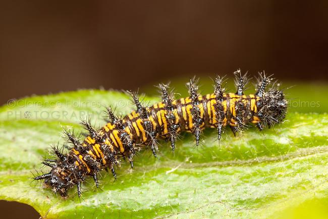 Harris' Checkerspot (Chlosyne harrisii) - caterpillar (larva), Ward Pound Ridge Reservation, Westchester County, New York