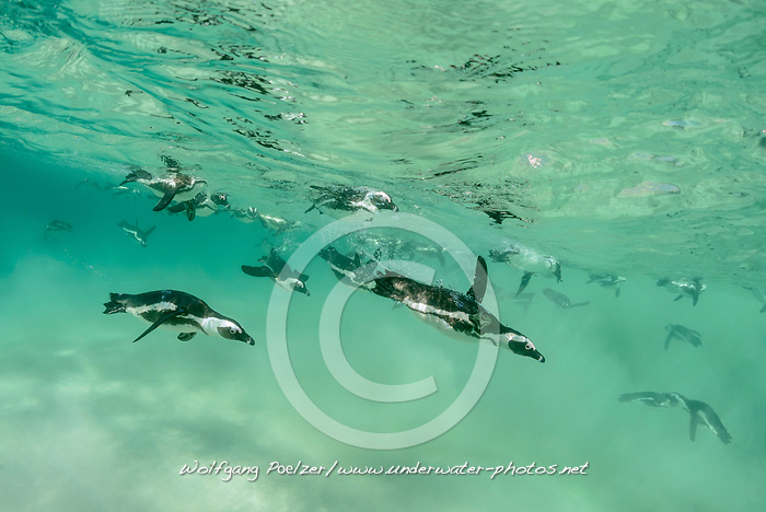 Spheniscus demersus, Brillenpinguine, Tauchende Pinguine, African penguins or Jackass penguin or black-footed penguins, Diving Pinguins, Suedafrica, Simons Town, False Bay, Boulders Beach, South Africa
