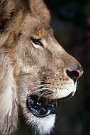 Vassouras, district of Rio de Janeiro, Brazil. 1981.  A family in Africa is besieged by a group of lions, driven mad by the drought. They have to survive multiple attacks but some of their colleagues are eaten by the lions. From the film Savage Harvest, directed by Robert E. Collins. Photo of the African animals that come from Hollywood zoos with their trainers. Ralph Helfer the famous animal trainer did and directed all the stunts with the lions attacks.