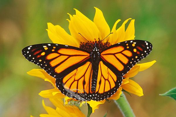 Monarch butterfly (Danaus plexippus) on sunflower, Summer.