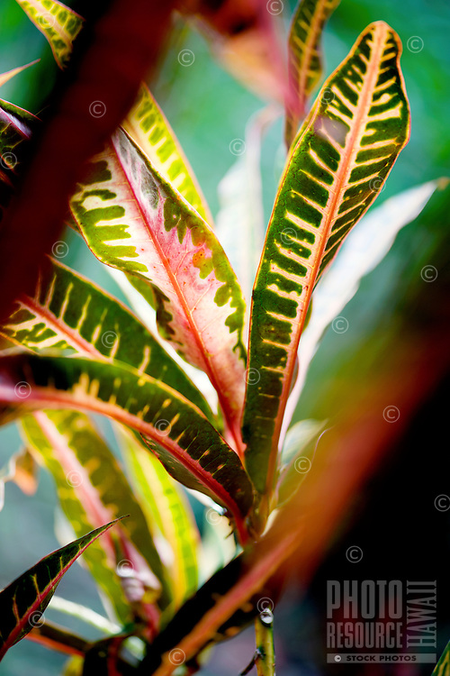 A croton plant in a Wailua Homesteads neighborhood, Kapa'a, Kaua'i.