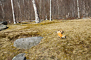 Red fox near the Willey House Historical Site in Crawford Notch State Park of the White Mountains, New Hampshire USA during the spring months
