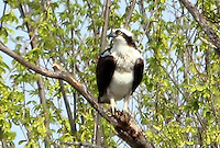 COURTESY PHOTO PHYLLIS KANE<br /> An osprey roosts near the Botanical Garden of the Ozarks in Fayetteville on April 11. Phyllis Kane of Fayetteville took the picture during a Northwest Arkansas Audubon Society field trip.