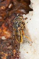 Gemeine Goldschwebfliege, Goldschwebfliege, Gold-Schwebfliege, leckt Baumsaft, Baumsäfte an einem verletzten Baumstamm, Eichenstamm, Ferdinandea cuprea, Sap-run Hoverfly