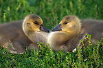 USA; California; Lakeside; Canada Goslings that form a Heart
