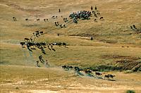 Cattle roundup on South Dakota ranch, Pine Ridge Indian Reservation, South Dakota, AGPix_0269.