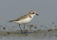 Lesser Sandplover - Charadrius mongolus