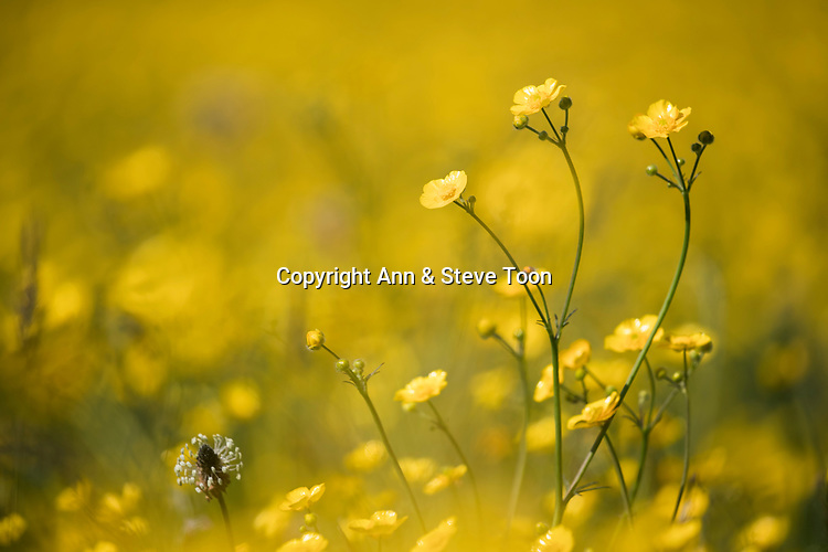 Buttercups (Ranunculus sp), Cumbria, UK, May 2017
