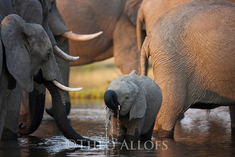 Botswana, Okavango Delta, Moremi Game Reserve,  African elephant   (Loxodonta africana) herd drinking