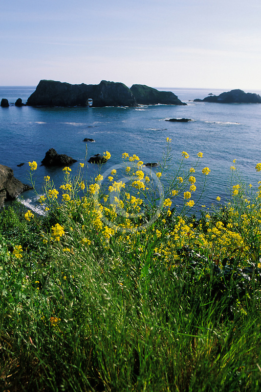 California, Mendocino County, Elk, Mustard flowers and Arch Rock