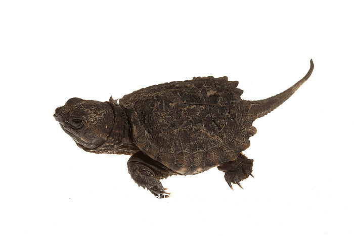 30050-00103 Snapping Turtle (Chelydra serpentina) young on white background, Marion Co., IL