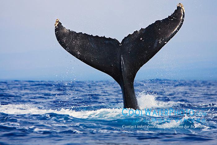 Humpback Whale lobtailing or tail-slapping, Megaptera novaeangliae, Hawaii, Pacific Ocean.