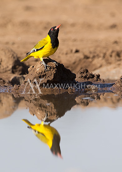 The black-headed oriole was one of the more colorful birds photographed at the Mashatu hide.