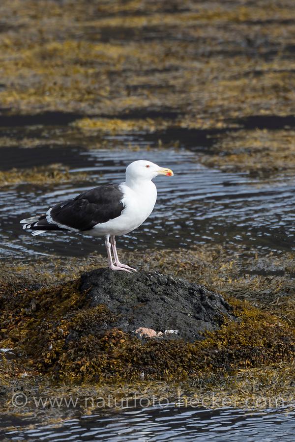Mantelmöwe, Mantel-Möwe, Möwe, Möwen, Mantelmöve, Larus marinus, great black-backed gull, gull, gulls, Le Goéland marin