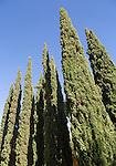 Cupressus sempervirens, cypress trees, Jerez de la Frontera, Spain