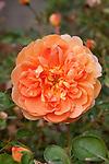 ROSA 'PAT AUSTIN', SHRUB ROSE BY DAVID AUSTIN