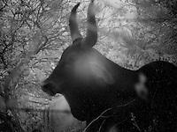 Infrared Bull