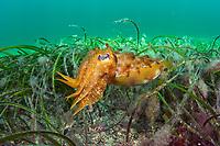 Juvenile Giant Cuttlefish (Sepioloidea lineolata) hunts underneath the Port Hughes jetty in the Yorke Peninsula in South Australia.