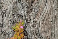 Ice Plant and Monterey Cypress Tree