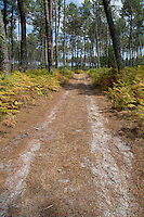 Dirt path through the Landes Forest, Aquitaine, France.