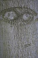 Baumgesicht, Rinde, Stamm, Baumstamm mit Gesichtsform, Gesicht, Auge, Augen, Waldwichtel, Wichtel, Waldgeist, Baumgeist, Naturgeist, Baumgeister, Naturgeister
