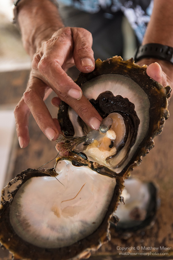 Rangiroa Atoll, Tuamotu Archipelago, French Polynesia; the inside of an oyster used to produce Tahitian black pearls