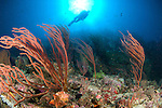 A diver looks on at sea fans (Subergorgia sp.), Solomon Islands