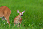 White-tailed fawn standing next to her mother in a summer meadow.