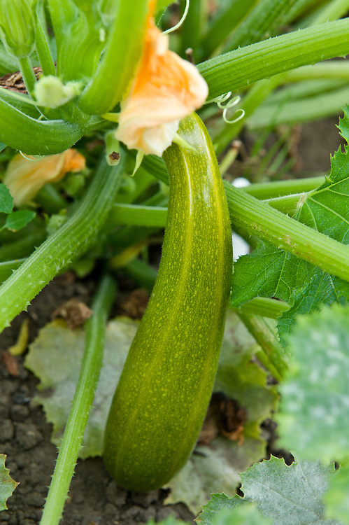 Courgette 'Verde di Milano', early August.Seeds were sown about 14 weeks earlier, in mid April.