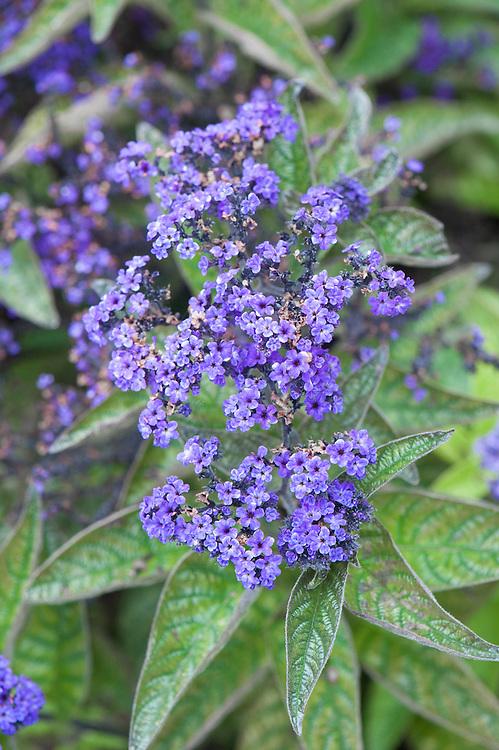 Heliotropium arborescens 'Dwarf Marine', early September. A miniature Heliotrope with blue or purple flowers.