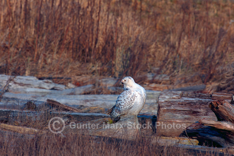 Snowy Owl (Bubo scandiacus) Female or Juvenile, sitting on Frost Covered Log at Boundary Bay Regional Park, Delta, BC, British Columbia, Canada - aka Arctic Owl, Great White Owl or Harfang.  Note Owl Head rotated 180 degrees and bloody face from feeding on hunted prey.